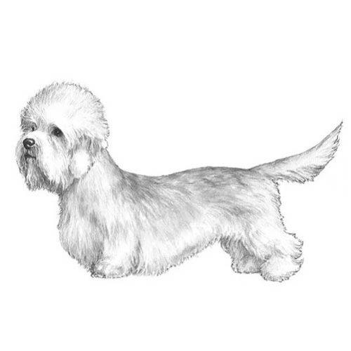 dandie dinmont terrier illustration