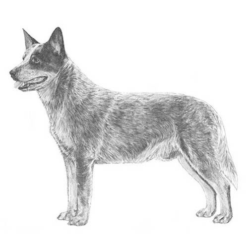 Australian Cattle Dog - Breed - L.A.'s Top Dogs - Los ...