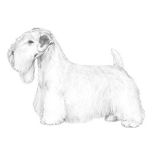 sealyham terrier illustration