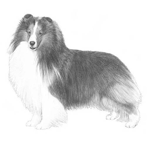 shetland sheepdog illustration