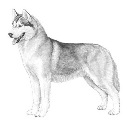 siberian husky illustration