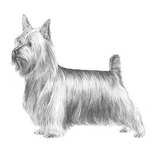 silky terrier illustration