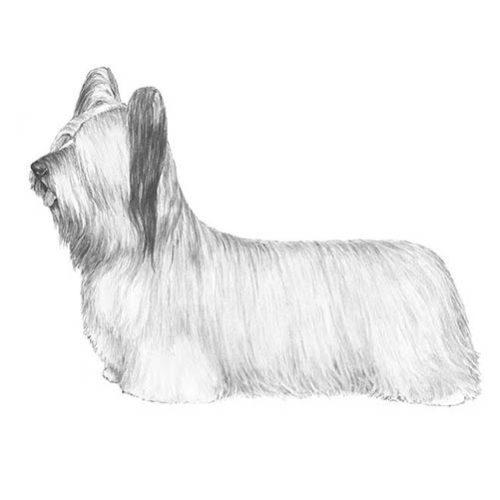 skye terrier illustration