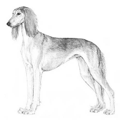 Saluki Dog Breed Information