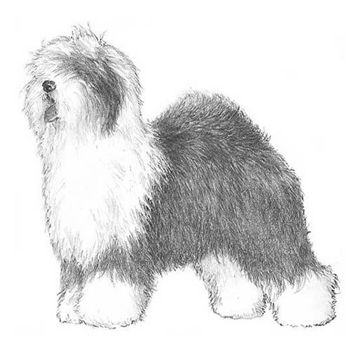 Old English Sheepdog Dog Breed Information
