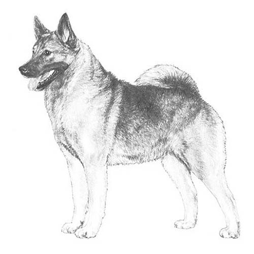 norwegian elkhound dog breed information