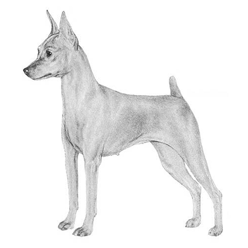 Miniature Pinscher Dog Breed Information