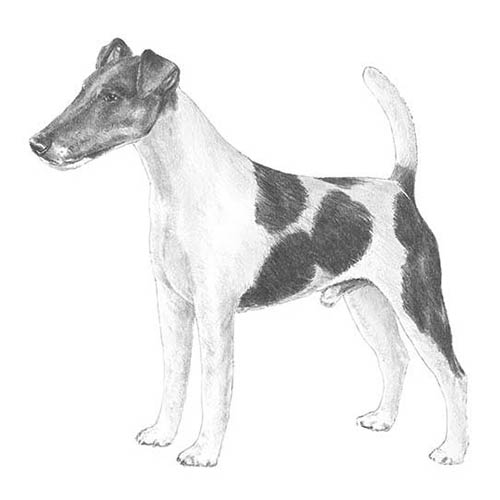 smooth fox terrier illustration