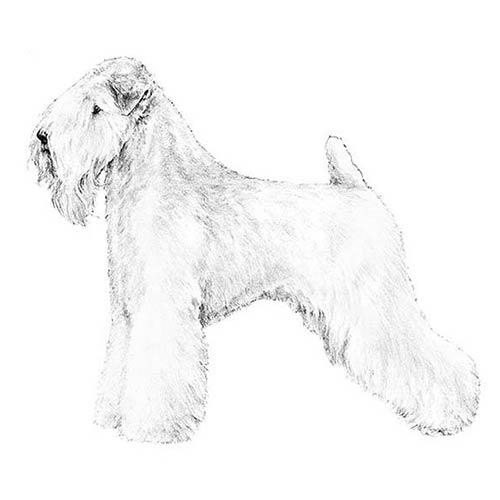 soft coated wheaten terrier illustration