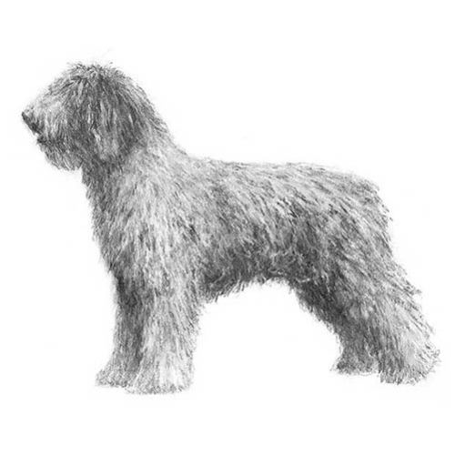 spanish water dog illustration