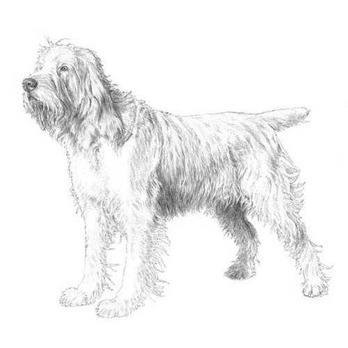 spinone italiano illustration