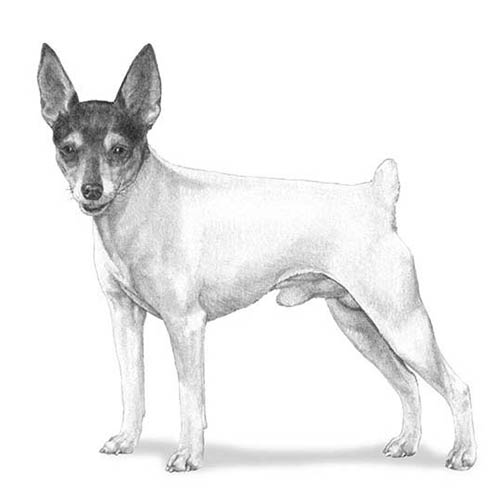 toy fox terrier illustration