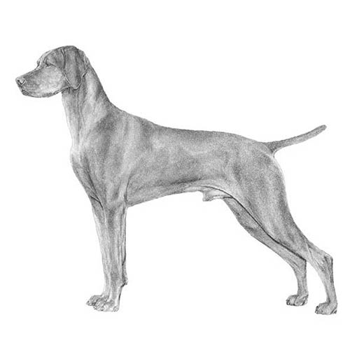 vizsla illustration
