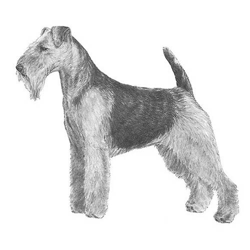welsh terrier illustration