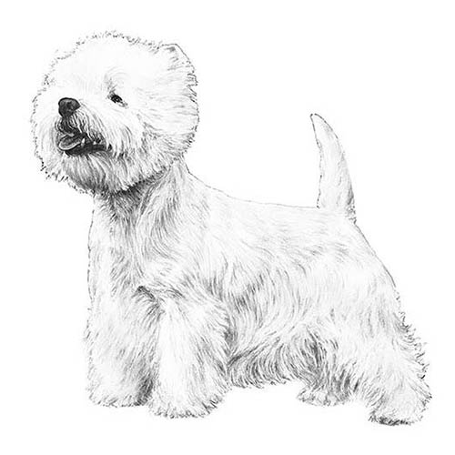 west highland white terrier illustration