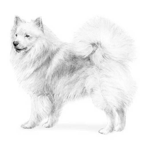 Icelandic Sheepdog Dog Breed Information