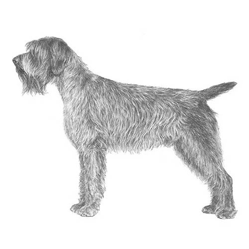 wirehaired pointing griffon illustration