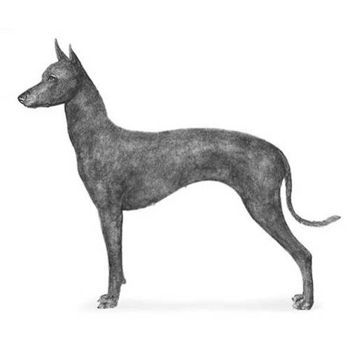xoloitzcuintil illustration