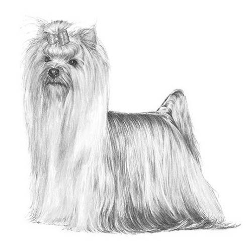yorkshire terrier illustration
