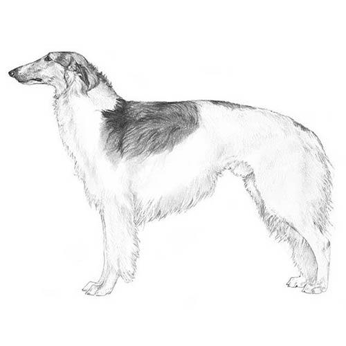 borzoi illustration