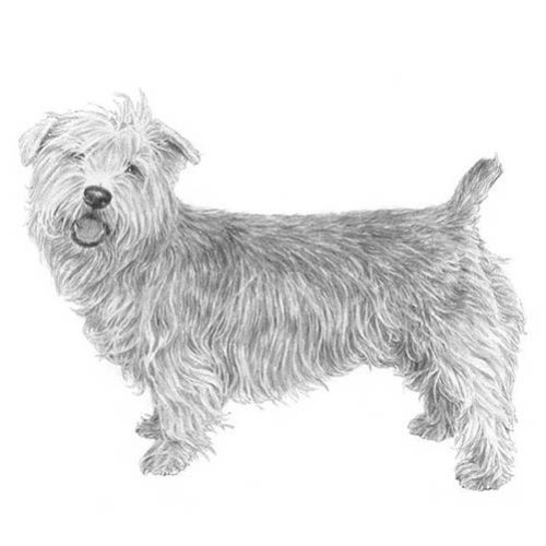 Glen of imaal terrier dog breed information 6 thecheapjerseys Image collections