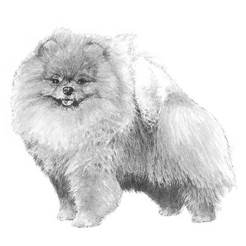 pomeranian history pomeranian dog breed information 2979