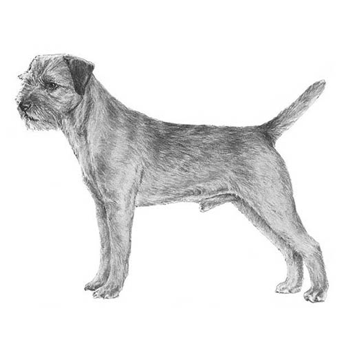 border terrier illustration