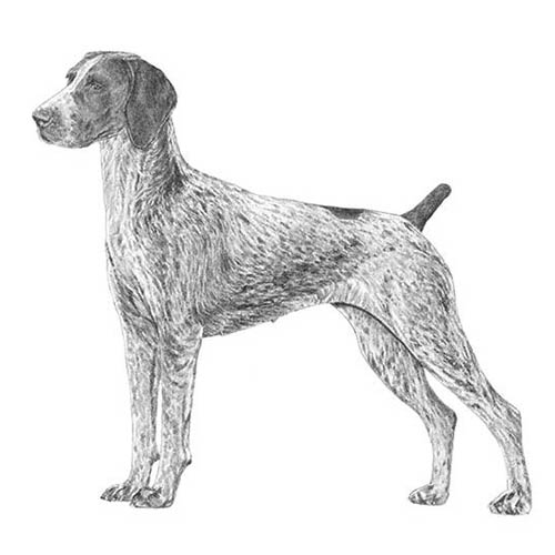 The illustrated breed standard of the German Shorthaired Pointer.