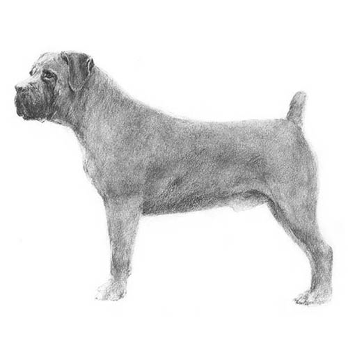 boerboel illustration