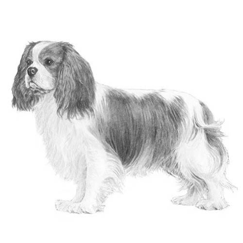 Cavalier king charles spaniel dog breed information cavalier king charles thecheapjerseys Images
