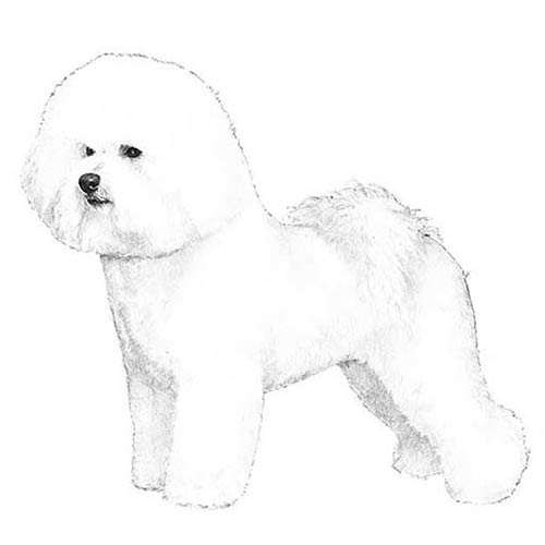 bichon frise illustration