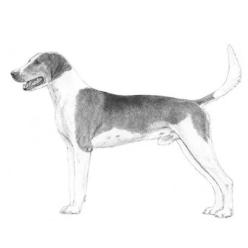 American Foxhound Illustration