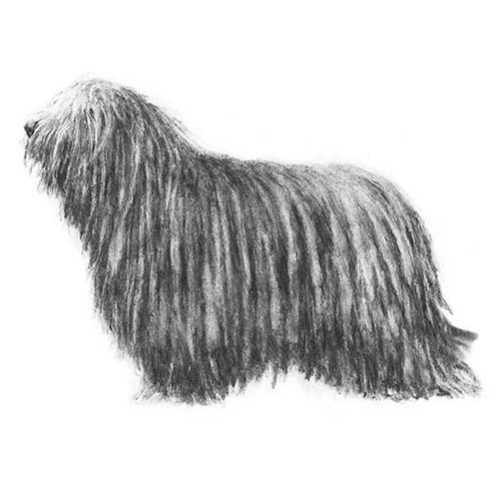 bergamasco sheepdog illustration