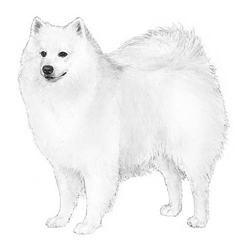 American-Eskimo Illustration