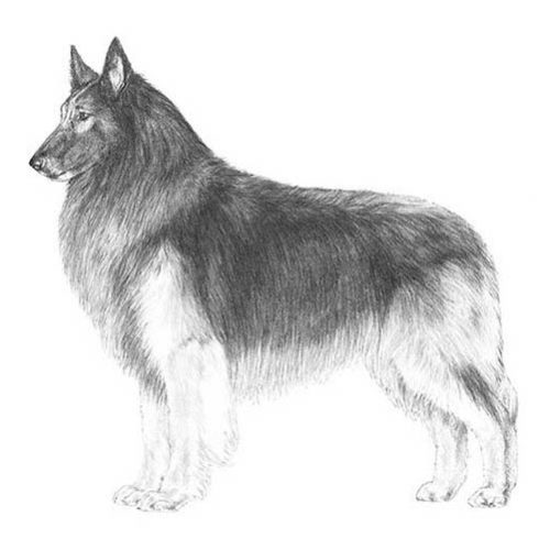 belgian tervuren illustration