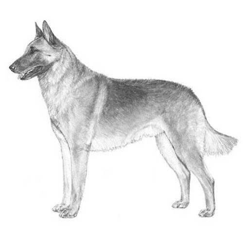 belgian malinois illustration