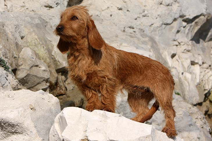 Basset Fauve de Bretagne standing on a boulder in three-quarter view