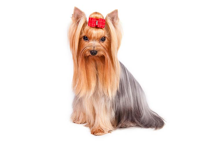 Yorkshire Terrier sitting sideways facing left, head turned forward