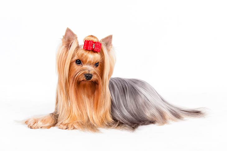 Yorkshire Terrier lying in three-quarter view facing forward