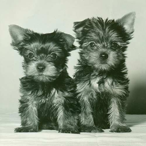 Yorkshire Terrier Yorkie Dog Breed Information