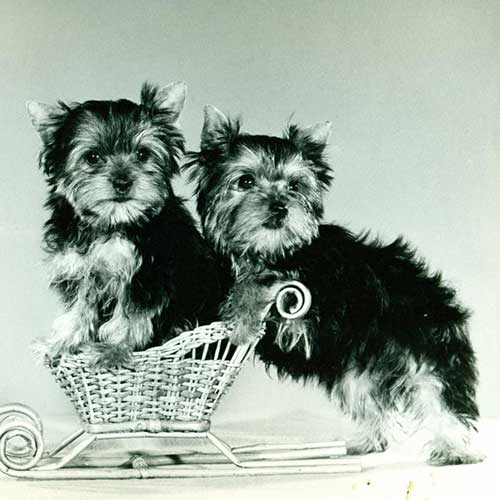 yorkie history yorkshire terrier yorkie dog breed information 2524