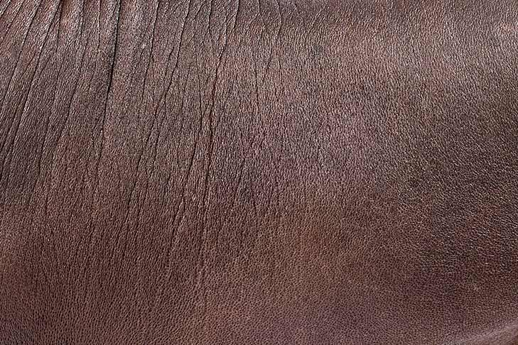 Xoloitzcuintli hairless coat detail