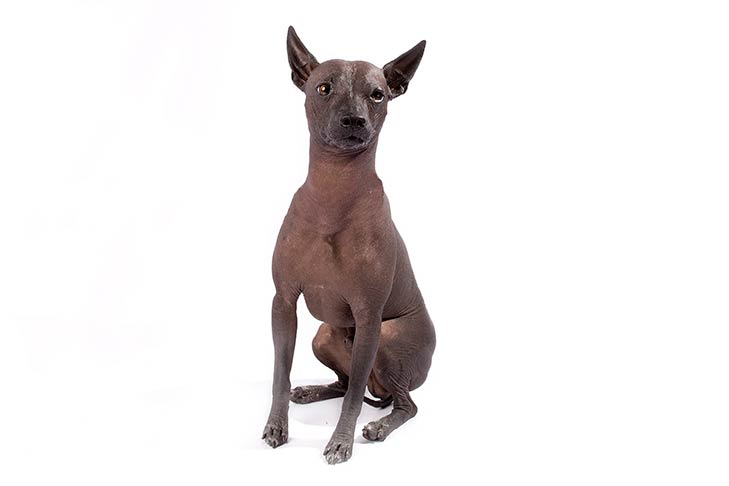 Xoloitzcuintli sitting facing forward