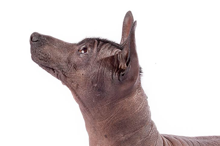 Xoloitzcuintli head facing left looking up