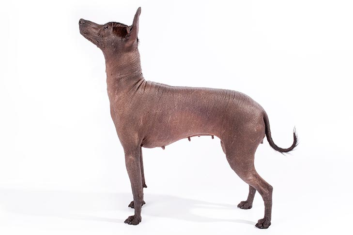 Xoloitzcuintli standing sideways facing left