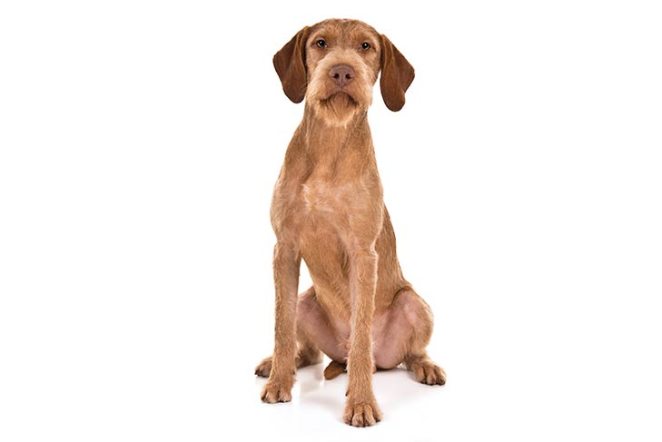 Wirehaired Vizsla sitting facing forward