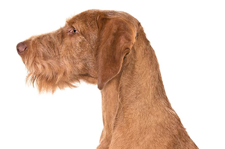 Wirehaired Vizsla head and neck facing left