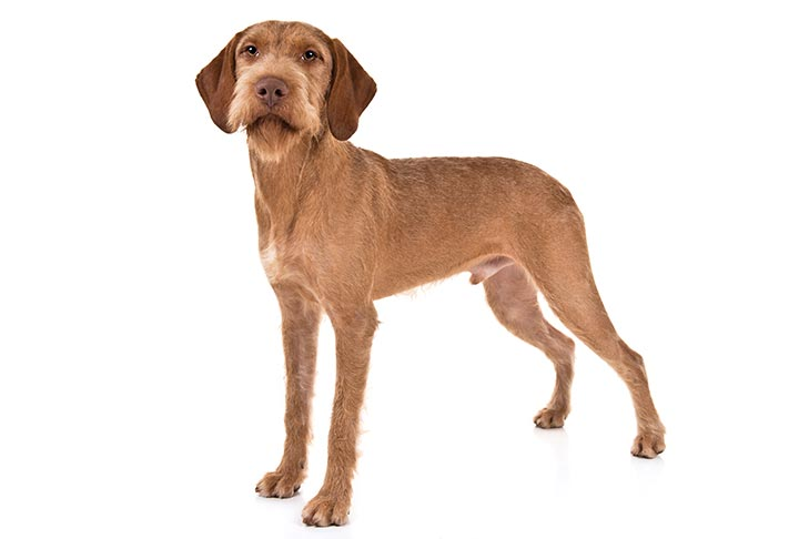 Wirehaired Vizsla standing in three-quarter view facing forward