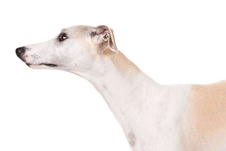 Whippet head facing left