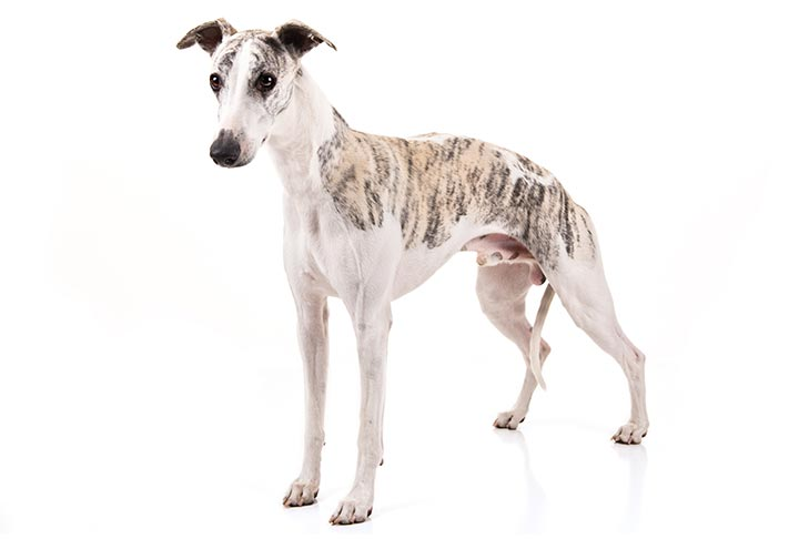Whippet standing in three-quarter view